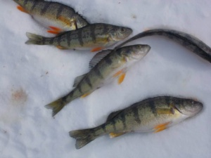 Perch caught by the Scarborough  Fly and Bait Casting Association