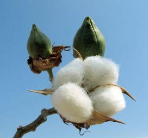 Cotton bud detail