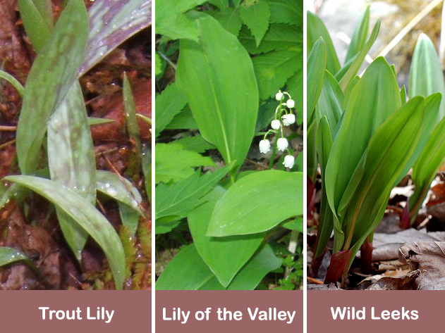 Wild leek indentification